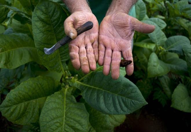 Quy trình sản xuất xì gà cầu kỳ ở Cuba - ảnh 3