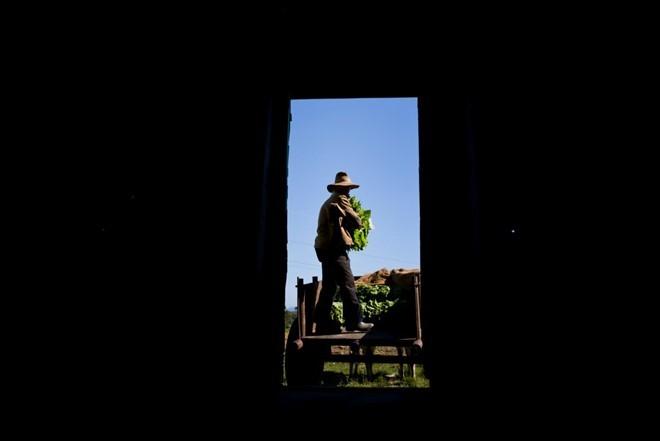 Quy trình sản xuất xì gà cầu kỳ ở Cuba - ảnh 6