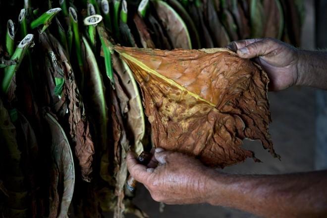 Quy trình sản xuất xì gà cầu kỳ ở Cuba - ảnh 8