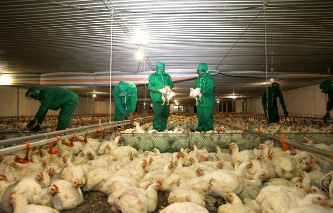 Đẩy mạnh chăn nuôi gia cầm an toàn theo chuỗi giá trị - ảnh 1