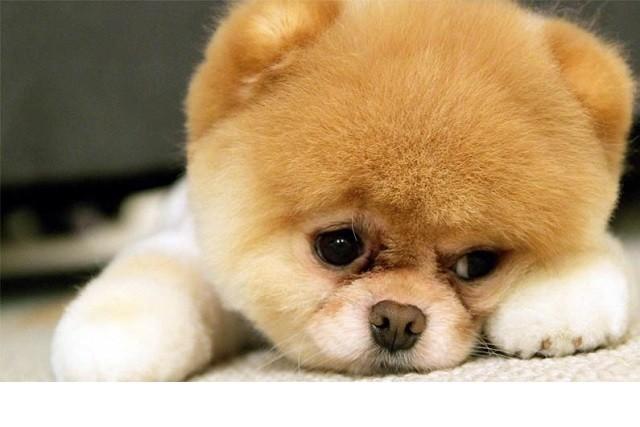 Những đặc điểm về ngoại hình và tính cách của giống chó phốc sóc (Pomeranian) - ảnh 1