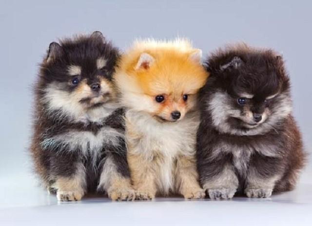 Những đặc điểm về ngoại hình và tính cách của giống chó phốc sóc (Pomeranian) - ảnh 2
