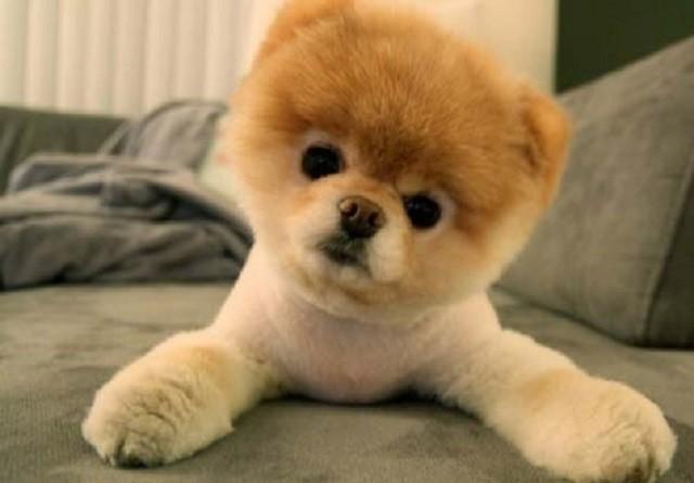 Những đặc điểm về ngoại hình và tính cách của giống chó phốc sóc (Pomeranian) - ảnh 3