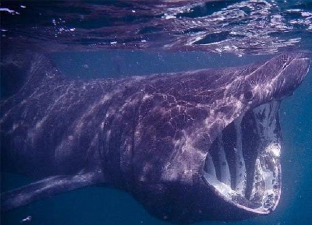 Những đặc điểm của loài cá mập khổng lồ có thân hình kỳ dị (Phần 2) - ảnh 2
