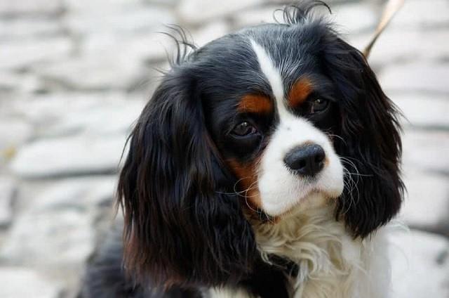 Top 10 giống chó thân thiện nhất thế giới - ảnh 1
