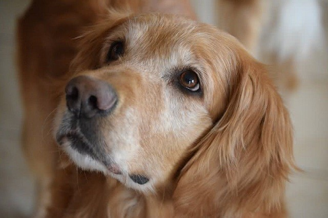 Top 10 giống chó thân thiện nhất thế giới - ảnh 5