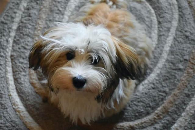 Top 10 giống chó thân thiện nhất thế giới - ảnh 3