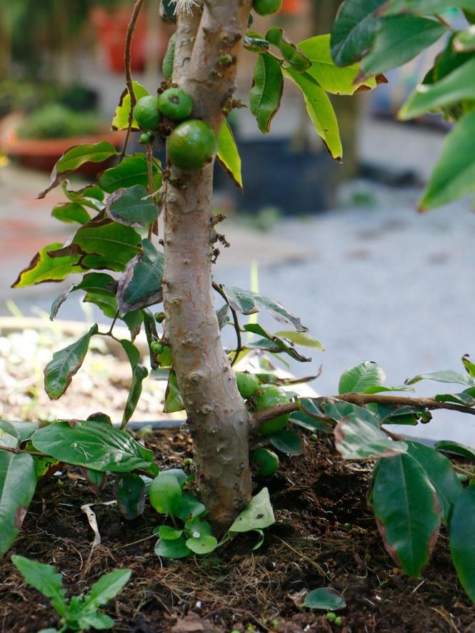 Chiêm ngưỡng vườn nho thân gỗ của thầy giáo xứ Cù Lao - ảnh 2