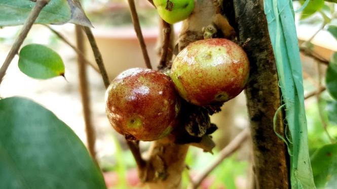 Chiêm ngưỡng vườn nho thân gỗ của thầy giáo xứ Cù Lao - ảnh 3