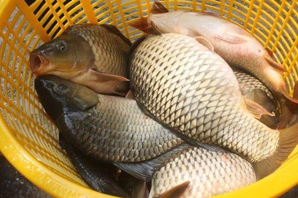 Mắc bệnh này ăn cá chép có thể chết người - ảnh 2