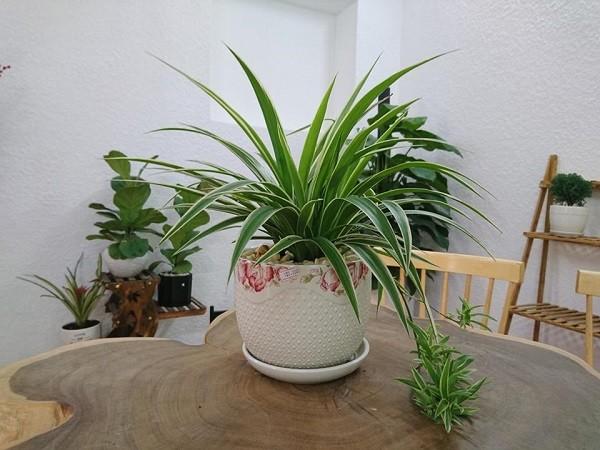 Những loại cây để trong nhà vừa tốt cho sức khỏe vừa nhiều tài lộc - ảnh 4
