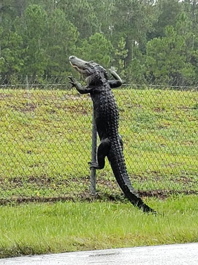 Cá sấu trèo rào 'đột nhập' căn cứ quân sự Mỹ - ảnh 2