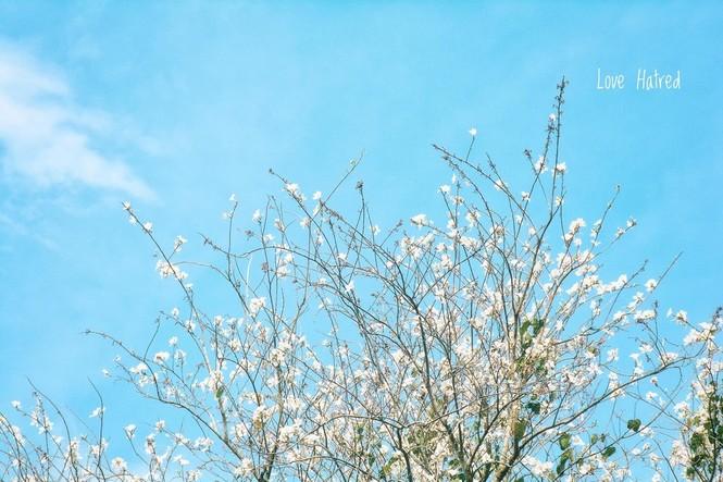 Những con đường ngập tràn hoa ban ở Đà Lạt tháng 12 này: Mình gặp nhau khi mùa hoa nở nhé! - ảnh 1