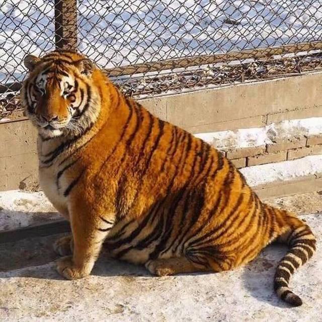 Tận thấy 'chúa sơn lâm' béo phì trong sở thú Trung Quốc - ảnh 2
