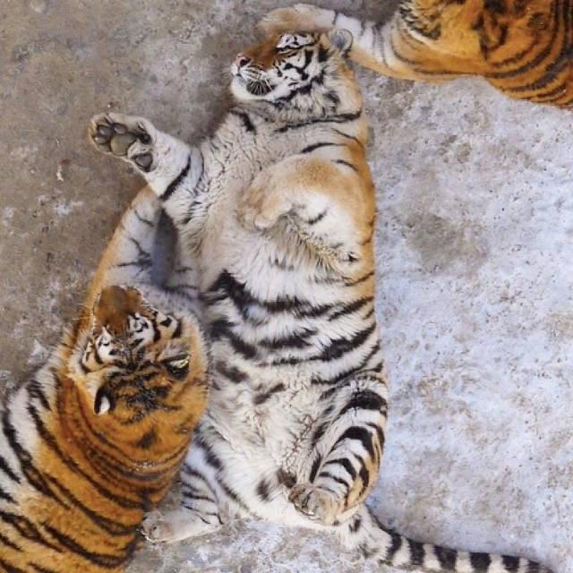 Tận thấy 'chúa sơn lâm' béo phì trong sở thú Trung Quốc - ảnh 4