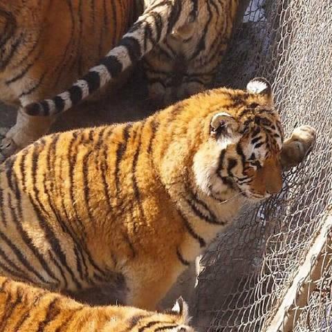 Tận thấy 'chúa sơn lâm' béo phì trong sở thú Trung Quốc - ảnh 6