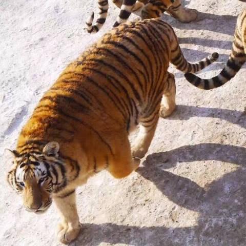 Tận thấy 'chúa sơn lâm' béo phì trong sở thú Trung Quốc - ảnh 3