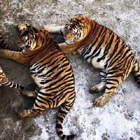 Tận thấy 'chúa sơn lâm' béo phì trong sở thú Trung Quốc - ảnh 9