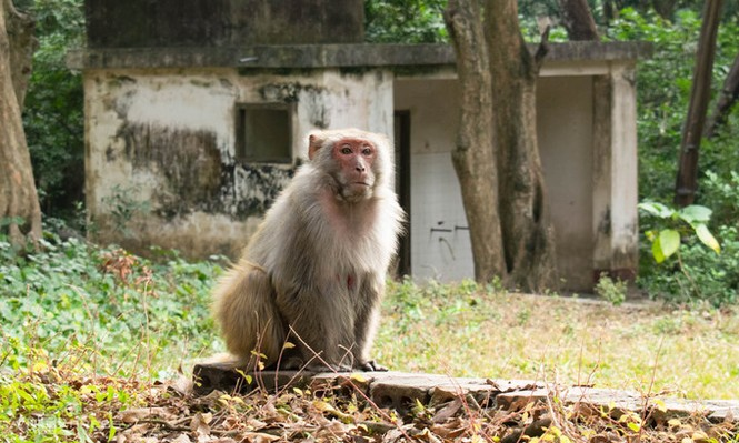 Khỉ vàng để thử vaccine được nuôi như thế nào? - ảnh 1