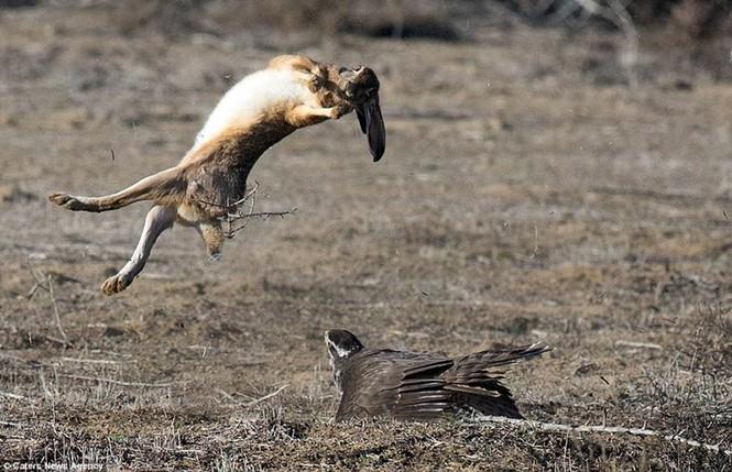 Ngoạn mục cảnh thỏ nâu đào thoát khỏi móng vuốt chim ó - ảnh 1