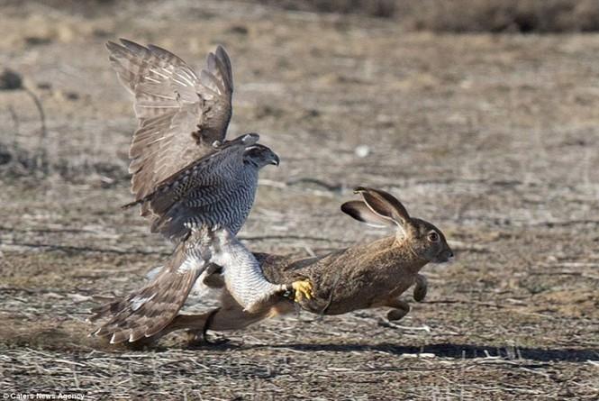 Ngoạn mục cảnh thỏ nâu đào thoát khỏi móng vuốt chim ó - ảnh 11