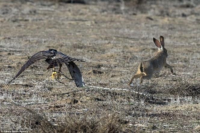 Ngoạn mục cảnh thỏ nâu đào thoát khỏi móng vuốt chim ó - ảnh 12