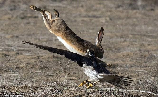 Ngoạn mục cảnh thỏ nâu đào thoát khỏi móng vuốt chim ó - ảnh 2