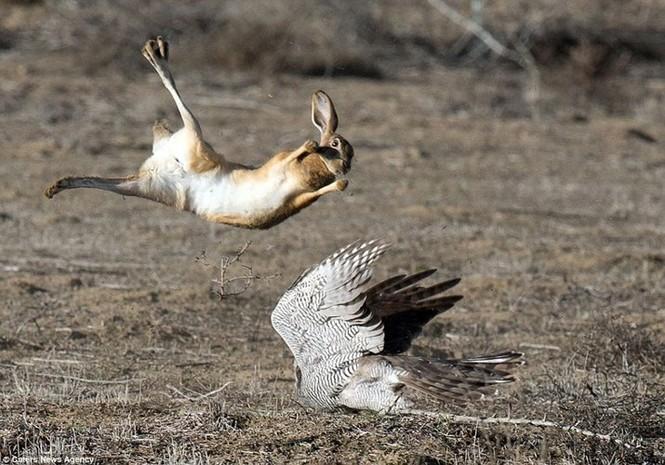 Ngoạn mục cảnh thỏ nâu đào thoát khỏi móng vuốt chim ó - ảnh 3