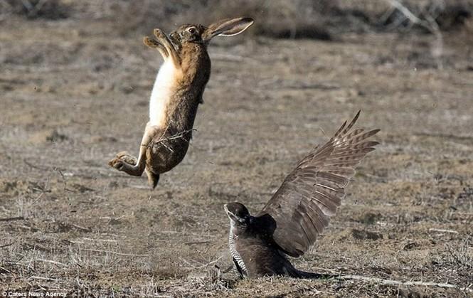 Ngoạn mục cảnh thỏ nâu đào thoát khỏi móng vuốt chim ó - ảnh 4