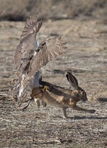 Ngoạn mục cảnh thỏ nâu đào thoát khỏi móng vuốt chim ó - ảnh 6