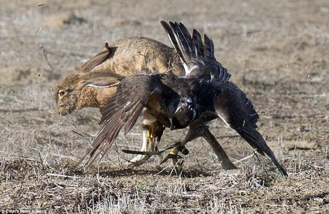 Ngoạn mục cảnh thỏ nâu đào thoát khỏi móng vuốt chim ó - ảnh 7
