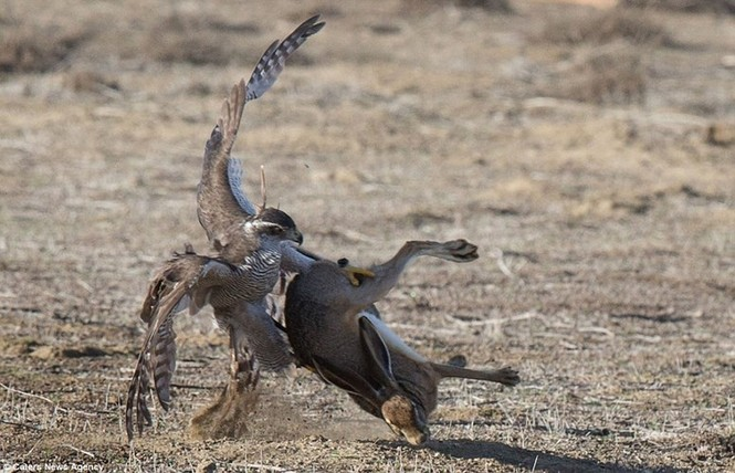 Ngoạn mục cảnh thỏ nâu đào thoát khỏi móng vuốt chim ó - ảnh 8