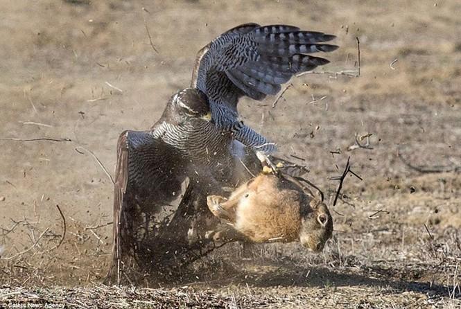 Ngoạn mục cảnh thỏ nâu đào thoát khỏi móng vuốt chim ó - ảnh 9