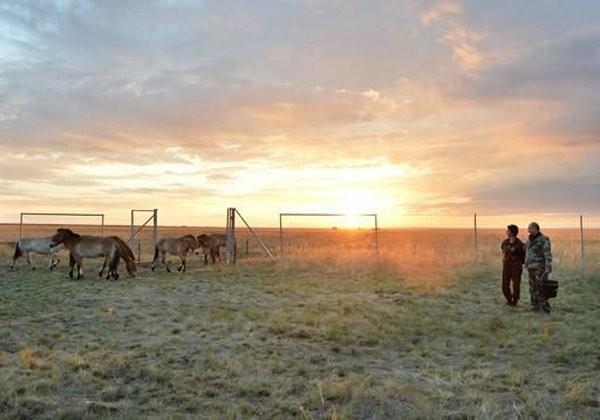 Putin chăm sóc ngựa hoang quý hiếm - ảnh 5