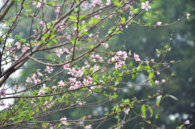 [ẢNH] 'Vườn' đào rừng trăm gốc khoe sắc cạnh Tháp Rùa - ảnh 12