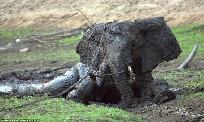 Ảnh vô cùng xúc động giải cứu voi sa lầy - ảnh 10