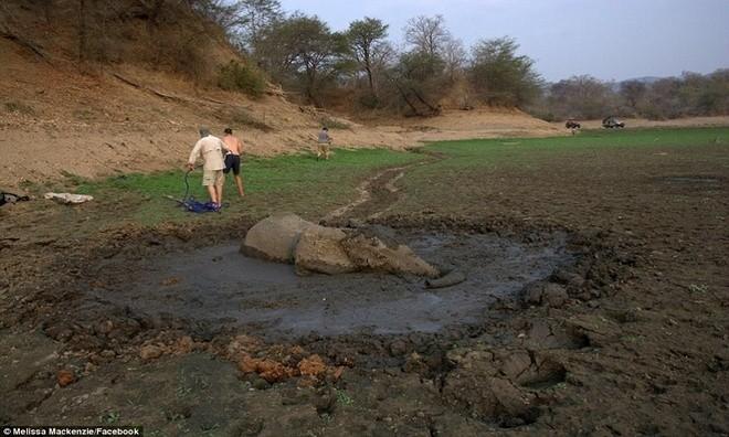 Ảnh vô cùng xúc động giải cứu voi sa lầy - ảnh 2