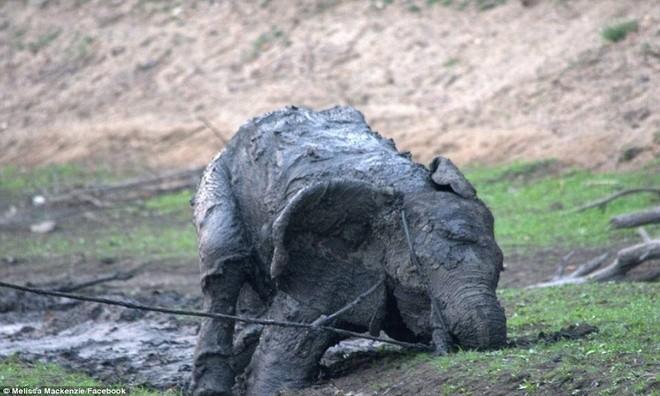 Ảnh vô cùng xúc động giải cứu voi sa lầy - ảnh 9