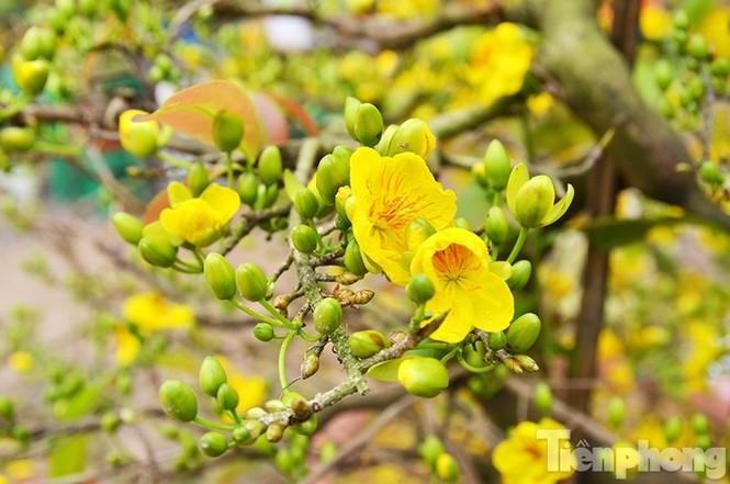Mai vàng Bình Định khoe sắc ở Thủ đô - ảnh 7