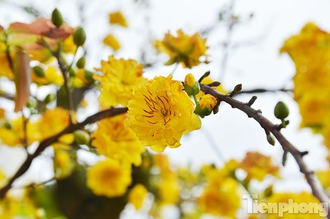 Mai vàng Bình Định khoe sắc ở Thủ đô - ảnh 3