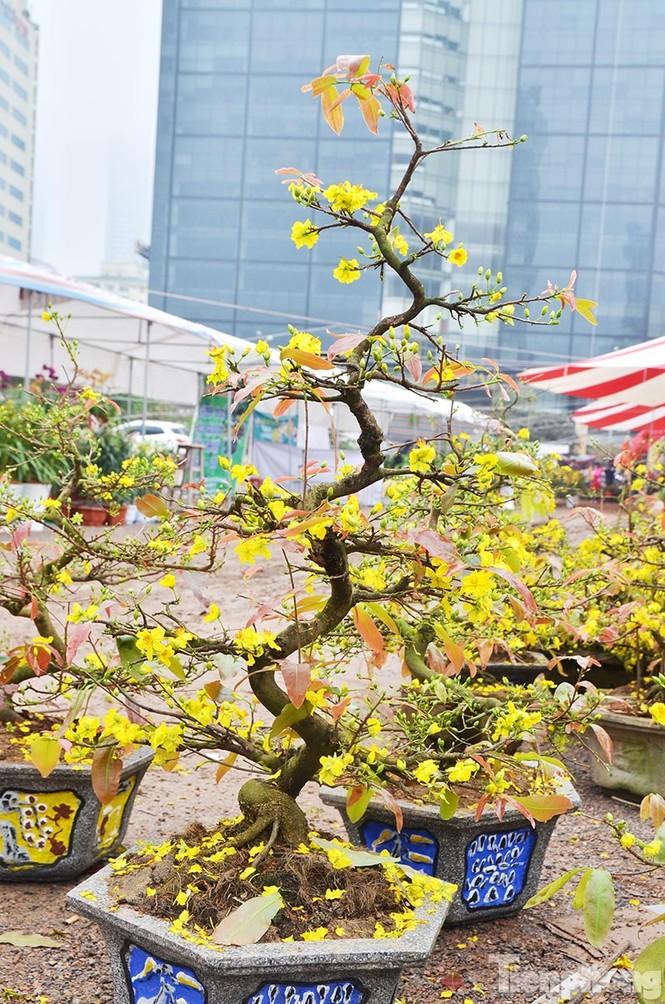 Mai vàng Bình Định khoe sắc ở Thủ đô - ảnh 4