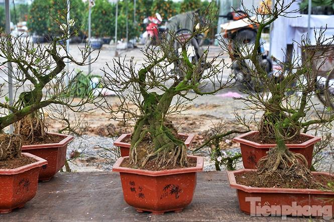 Mai vàng Bình Định khoe sắc ở Thủ đô - ảnh 13