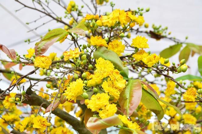 Mai vàng Bình Định khoe sắc ở Thủ đô - ảnh 5