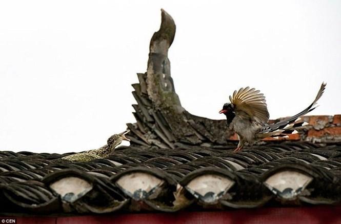 Sửng sốt chứng kiến đôi chim kịch chiến với rắn trên nóc nhà - ảnh 1