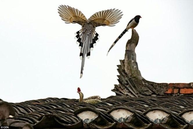 Sửng sốt chứng kiến đôi chim kịch chiến với rắn trên nóc nhà - ảnh 2