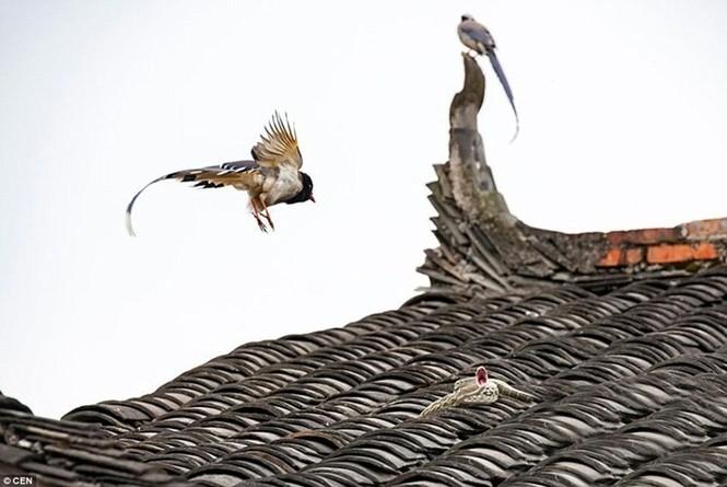 Sửng sốt chứng kiến đôi chim kịch chiến với rắn trên nóc nhà - ảnh 4