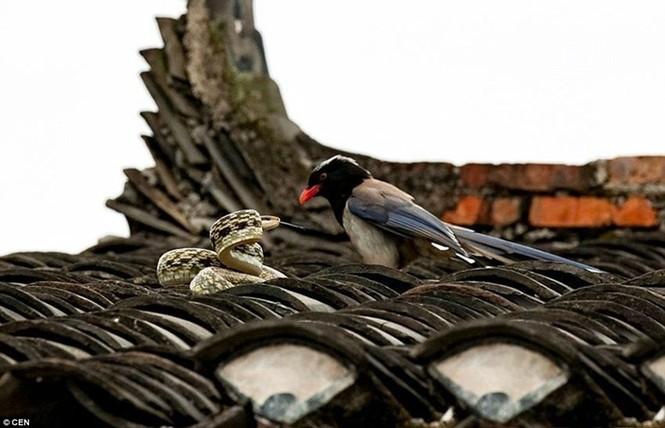 Sửng sốt chứng kiến đôi chim kịch chiến với rắn trên nóc nhà - ảnh 5