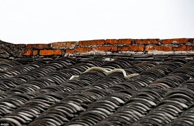 Sửng sốt chứng kiến đôi chim kịch chiến với rắn trên nóc nhà - ảnh 6