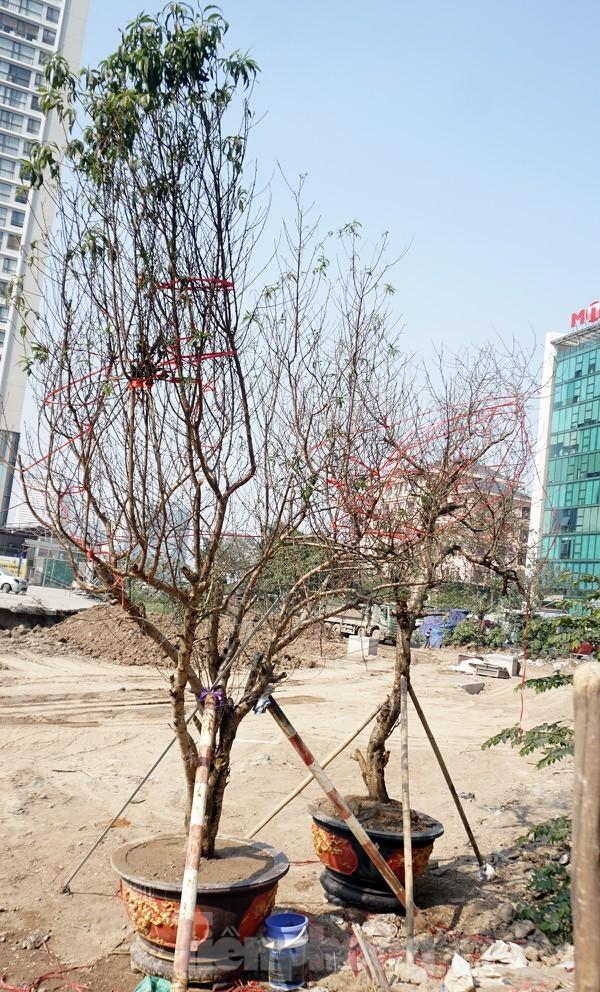 Dân buôn giới thiệu đào cổ thụ trồng ở Sơn La giá hơn 30 triệu đồng - ảnh 12