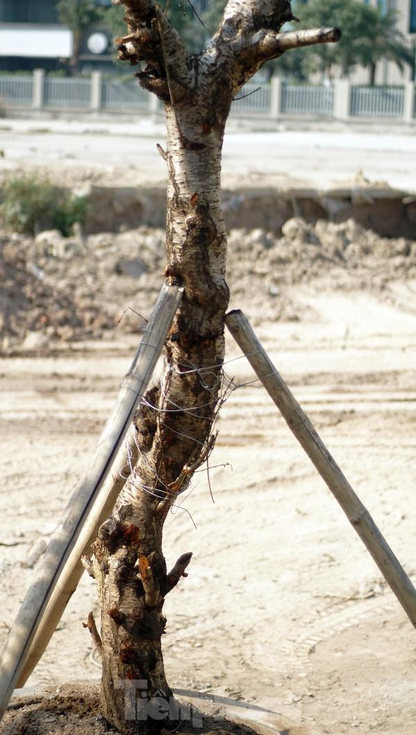 Dân buôn giới thiệu đào cổ thụ trồng ở Sơn La giá hơn 30 triệu đồng - ảnh 7